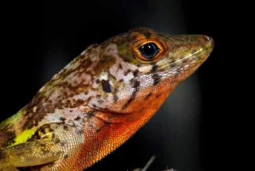 Banded Red-bellied Anole