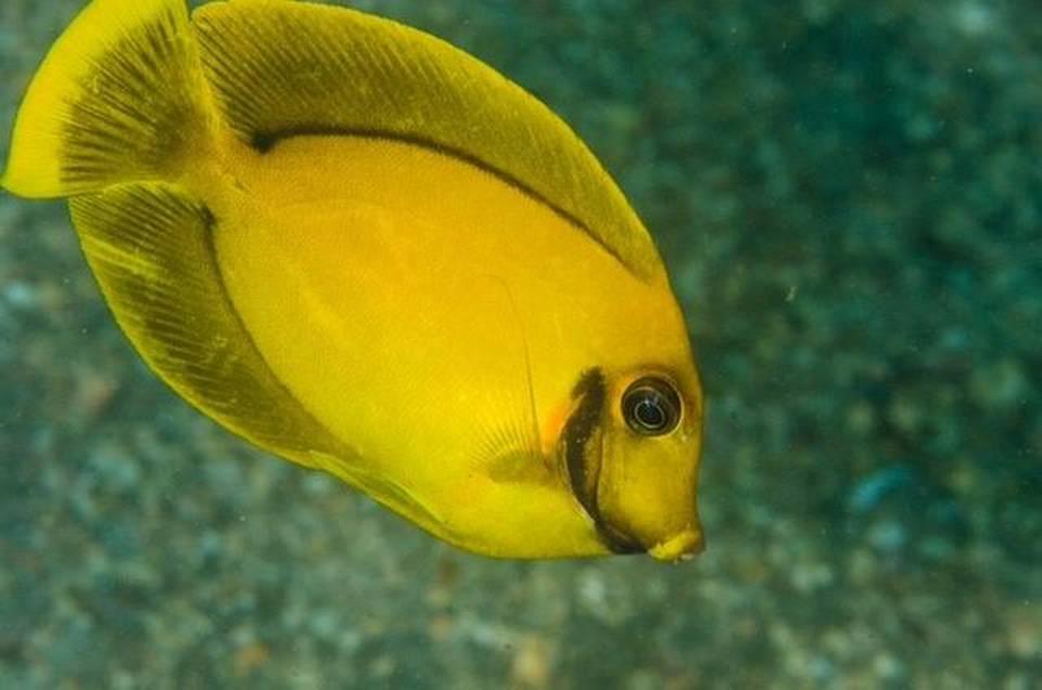 Florida divers capture non native surgeonfish repeating for Fish native to florida