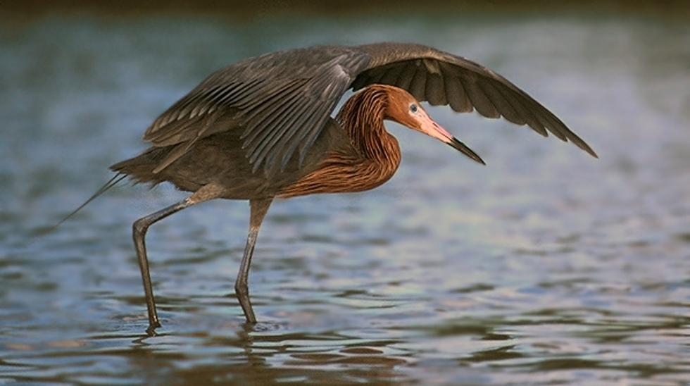 Reddish_Egret_Canopy_Hunting