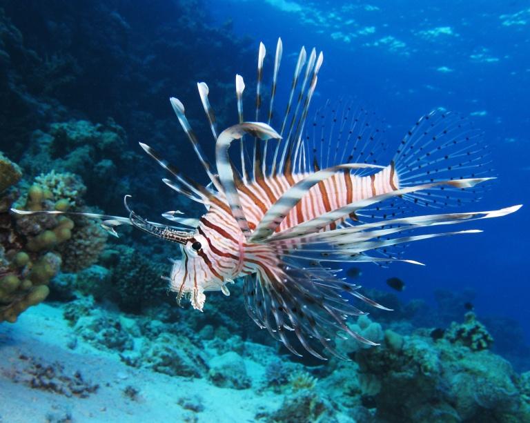 Common_lionfish_at_Shaab_El_Erg_reef_(landscape_crop)