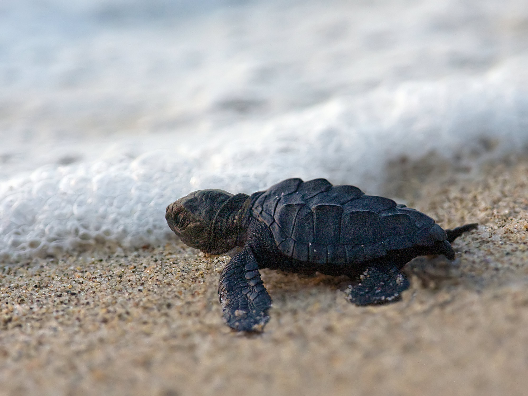Rising temperatures are cooking baby sea turtles in their ...  |Baby Sea Turtles