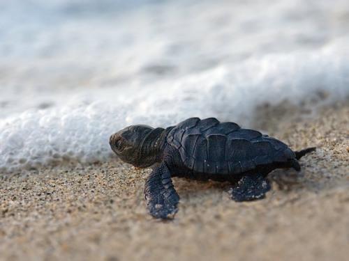 Baby-Sea-Turtle-1
