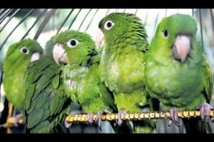parakeets_w304