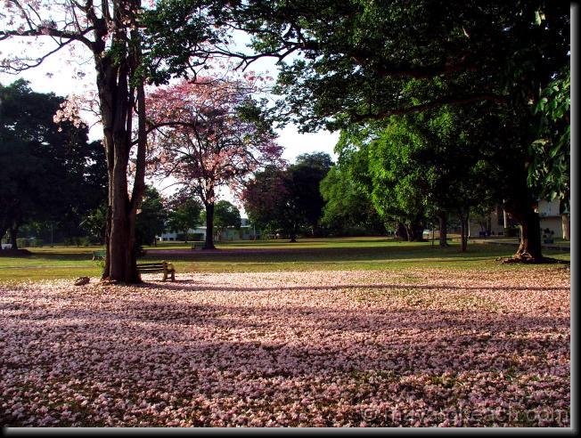 Poui Flowers on the ground - UWI St Augustine 2
