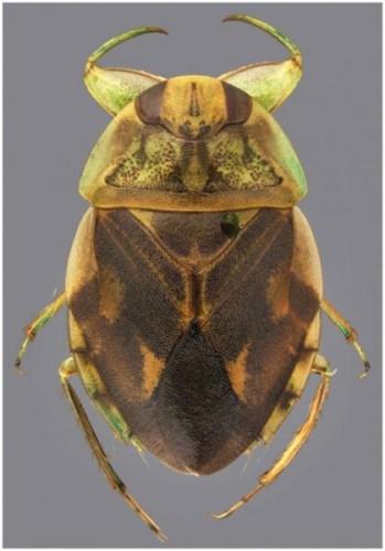 water-bug