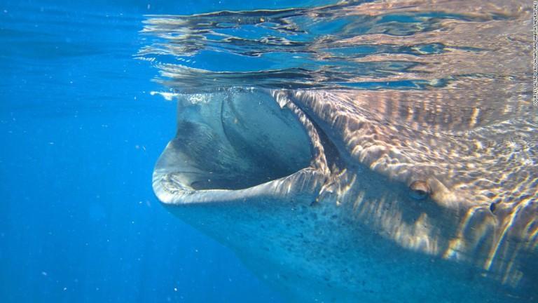 isla-holbox-whale-shark-