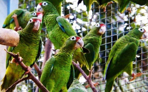 puerto-rican-parrot