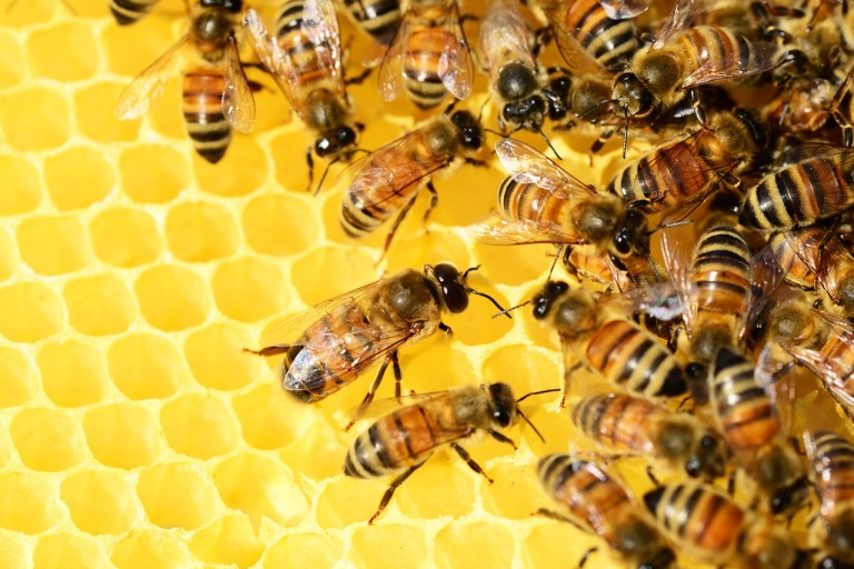 honey-bees-326337_1280.jpg