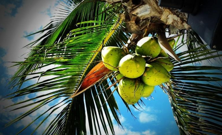 coconut-palm-770x470.jpg