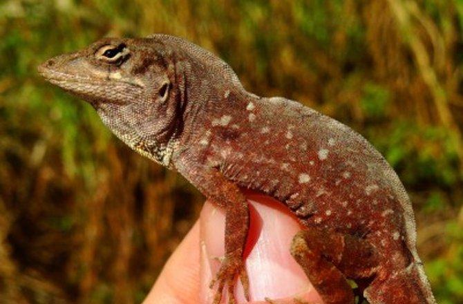 cuban-brown-anole-lizard-151211-jpg
