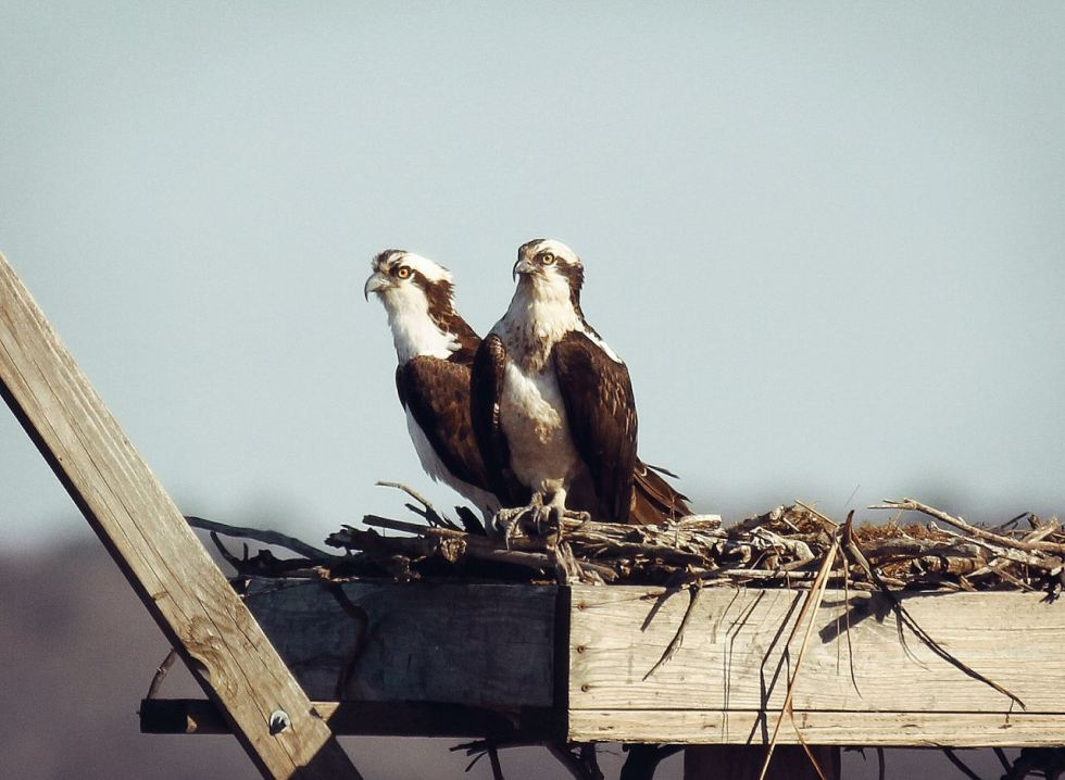 osprey_pair