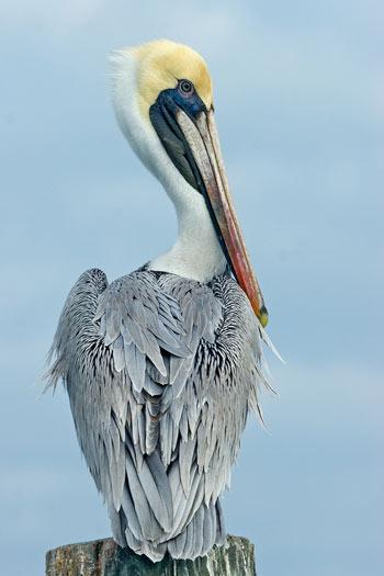 brown_pelican_1.jpg