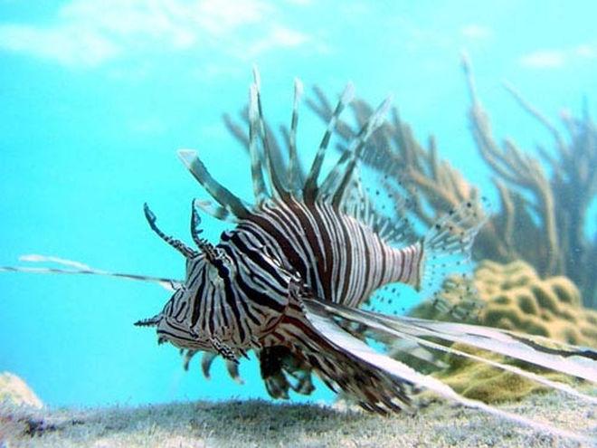 caribbean-lionfish-02