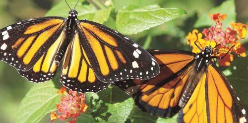 mariposamonarca-tz