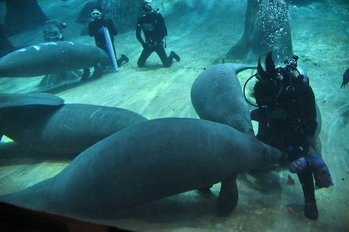 Singapore-manatees-headed-to-Caribbean-for-world-first-repopulation-programme_StoryPicture.jpg