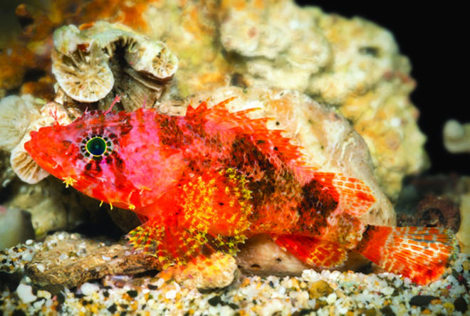 starburst-scorpionfish-1.jpg