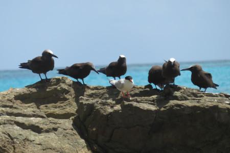brown noddies and tern