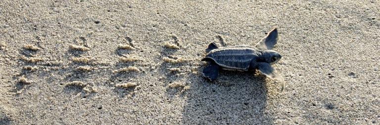 leatherback-turtle-hatchling