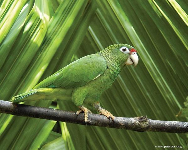 Puerto_Rican_parrot