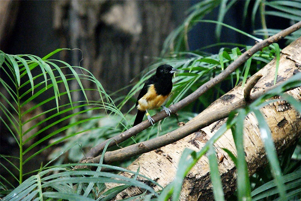 island-conservation-preventing-extinctions-montserrat-oriole