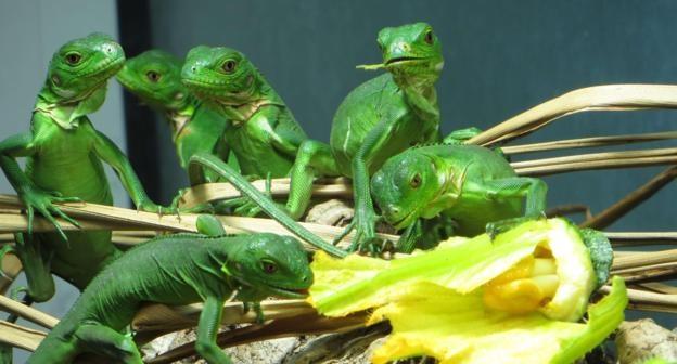 iguana-gzn