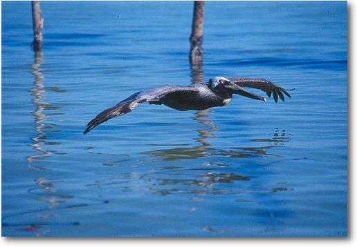 pelican_flight