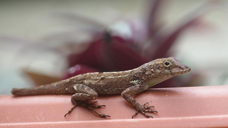 ANOLES-urban-lizard-8.jpg