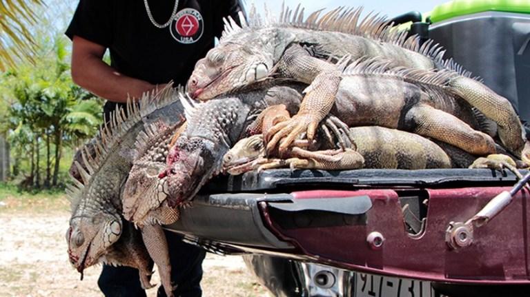 iguana_purge_f.jpg