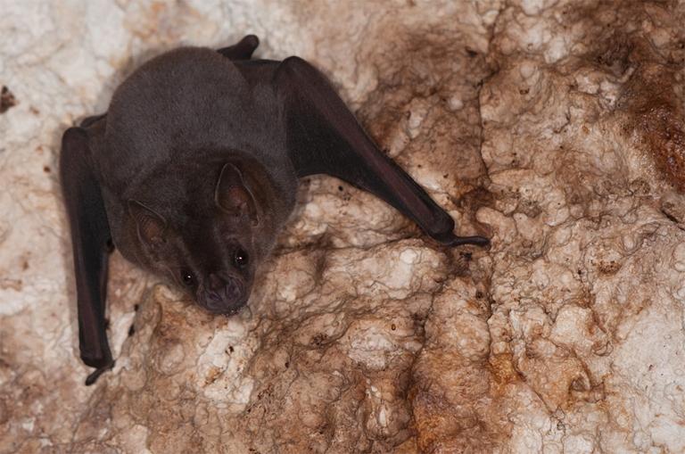 island-conservation-preventing-extinctions-antipodes-caribbean-bat