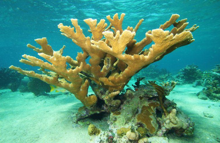 coral-cuerno-de-alce-u-orejon-755x490-1