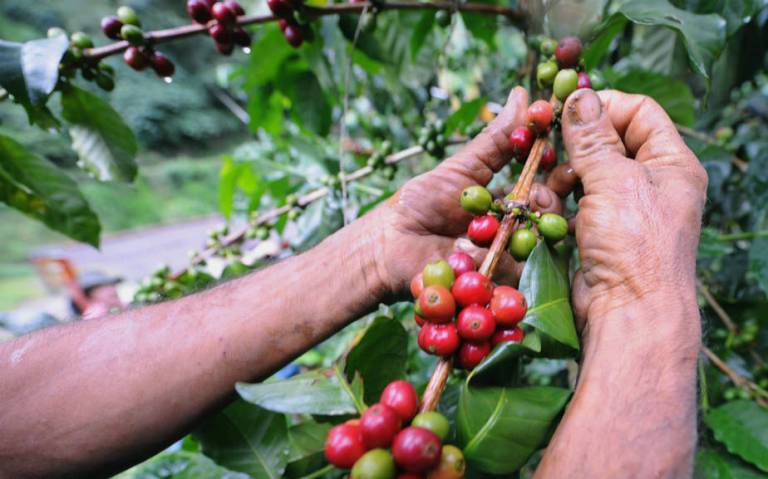 CoffeePlant-RodrigoAranguaAFPGetty.jpg