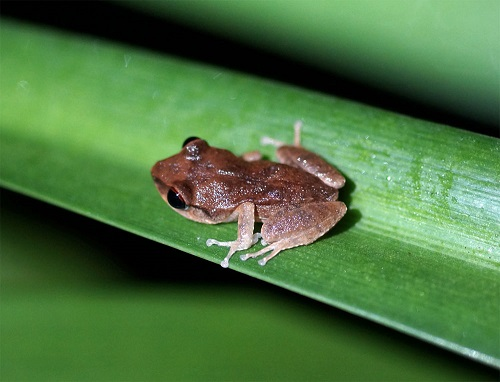 island-conservation-coqui-frog
