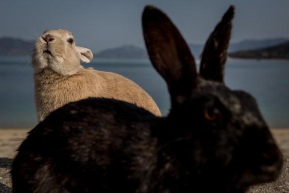 the-rabbits-on-the-on-okunoshima-island-in-takehara-japan.jpg