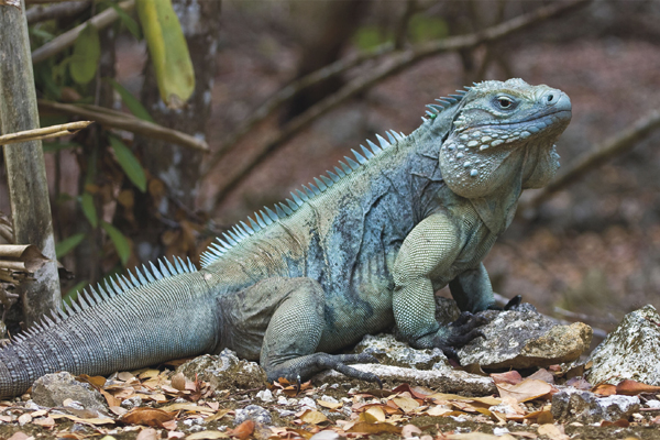 The Cayman News Service Reports On How Native Blue Iguanas Of Islands Are Threatened By Deadly Helicobacter Bacteria Believed To Be