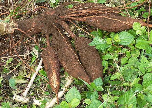 Cassava-big