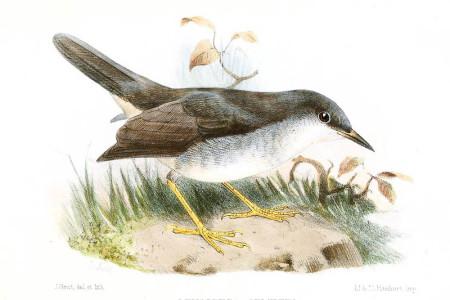 Sempers-Warbler-LeucopezaSemperiSmit-450x300.jpg