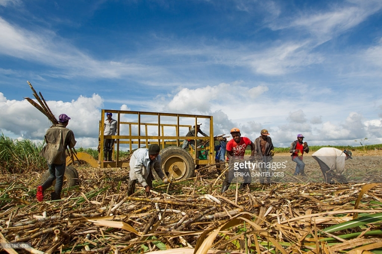 sugar-cane-in-the-caribbean