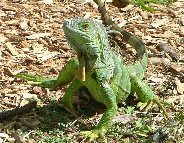 greeniguana1