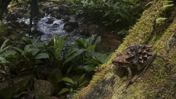 guyana_frog