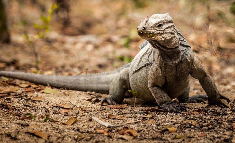 island-conservation-preventing-extinctions-rhinoceros-iguana-cabritos-island-ES-Cyclura-cornuta.jpg