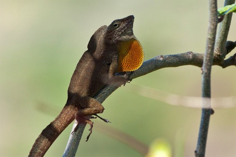 island-conservation-preventing-extinctions-success-desecheo-anole.jpg