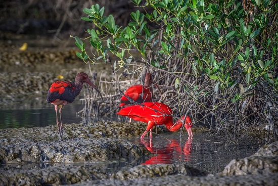 Scarlet ibis. Photo by Chris Anderson