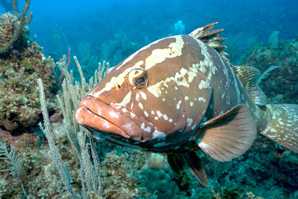 Nassau-grouper-1068x712