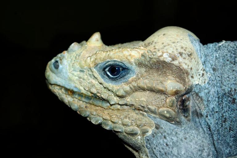 rhinoceros-iguana-11576191.jpg