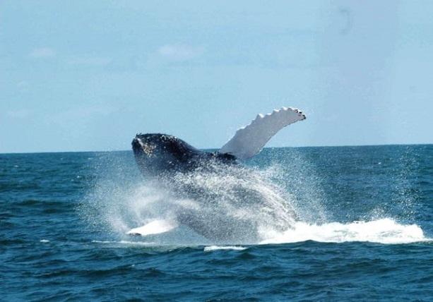 whale-hoy