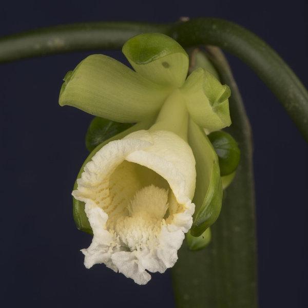 orquideaA