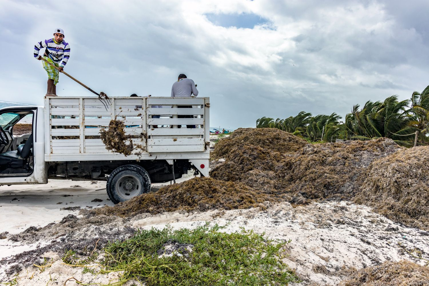 Sargassum: A Nightmare in the Caribbean – Repeating Islands
