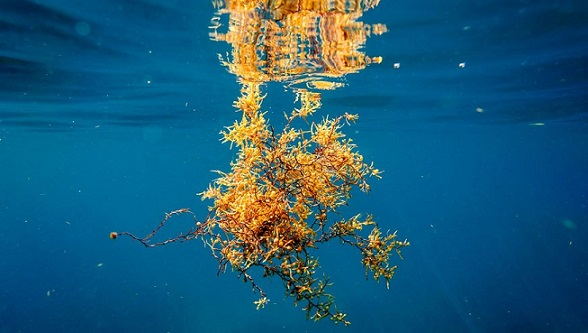 Sargassum-Seaweed-GEF-Photo