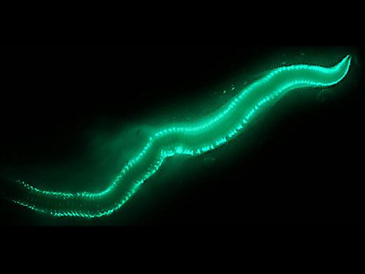 fireworm1