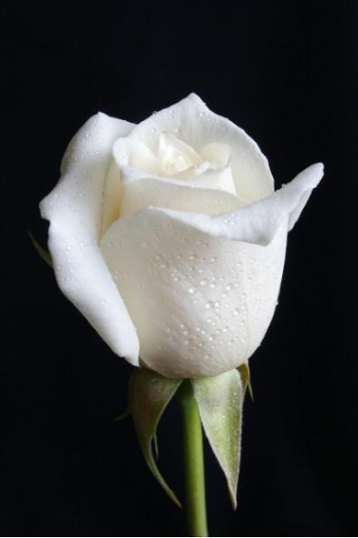 Art Exhibition Opening Today Una Rosa Blanca Repeating Islands